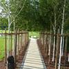Frisch gepflanzte Birkenalle