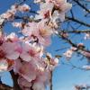 Die Mandelblüte!