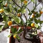 Foto zu Osteria del Corso: Zitronenbäumchen