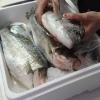 29.03.18: Fangfrische Dorade und Wolfsbarsch aus der Meeresfischzucht Völklingen