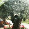 Olivenbaum im BG